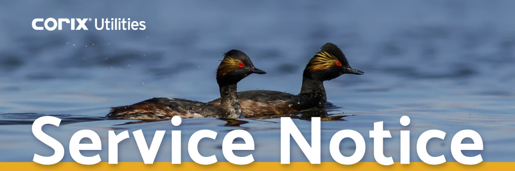 rise-black-necked-grebe-b